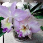 Orchids Cynthia grew